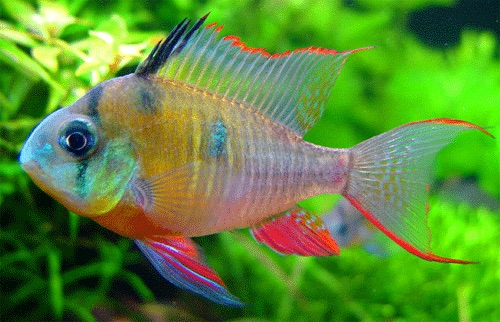 The beautiful Gourami, one of India's native freshwater fish species.