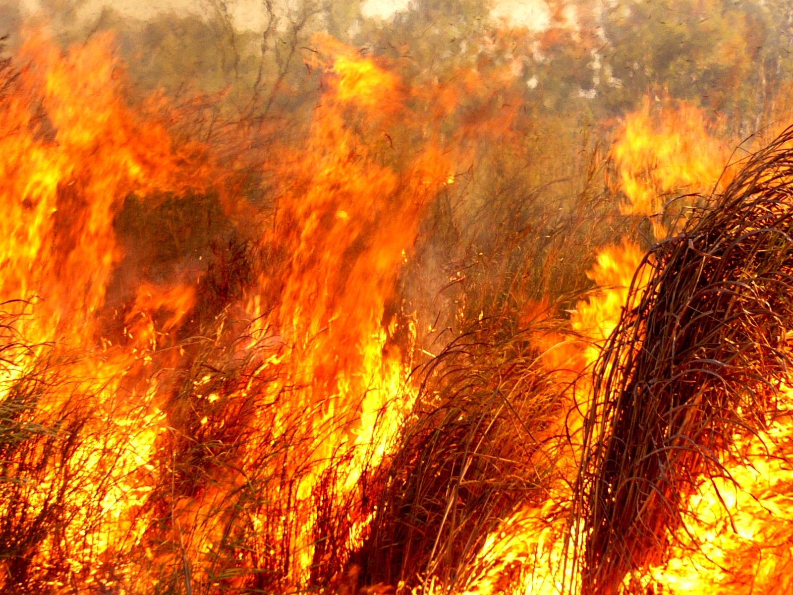 An inferno of Gamba Grass in northern Australia  (photo (c) Samantha Setterfield)