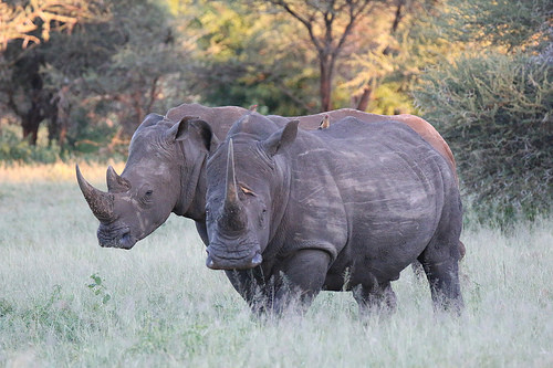 Endangered white rhinos in Cross River National Park.