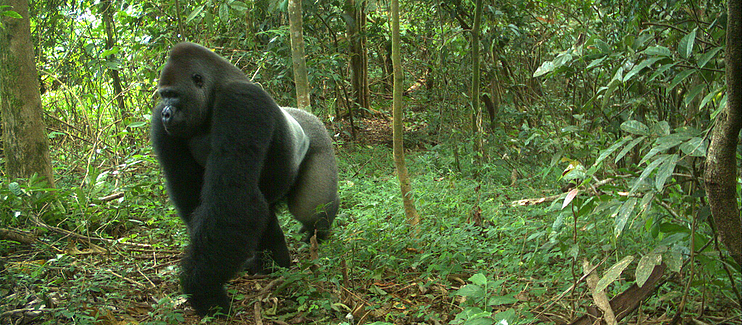 The imperiled Cross River Gorilla.