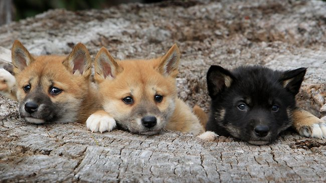Allowing dingo populations to recover could be beneficial to a range of imperiled Australian wildlife species.