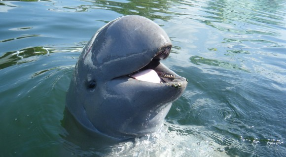 "Irrawaddy Dolphin -- the ""smiling dolphin"" found today in only scattered coastal and freshwater areas in Southeast Asia."