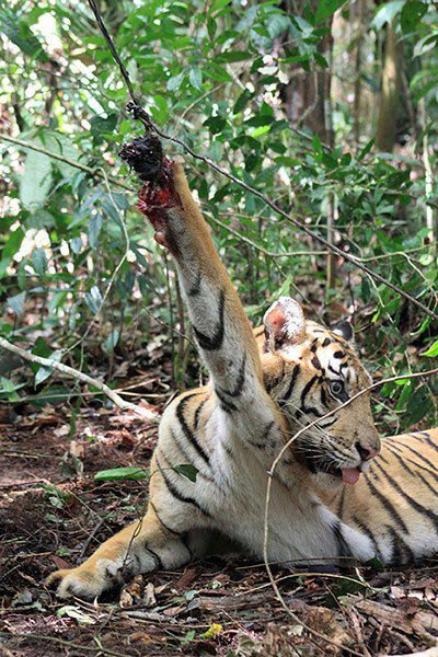 A young tiger caught in a poacher's snare.