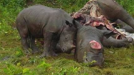 An Indian rhino killed by poachers for its horn.