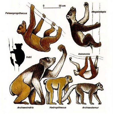 Giant primates driven to extinction by the first humans to arrive in Madagascar.