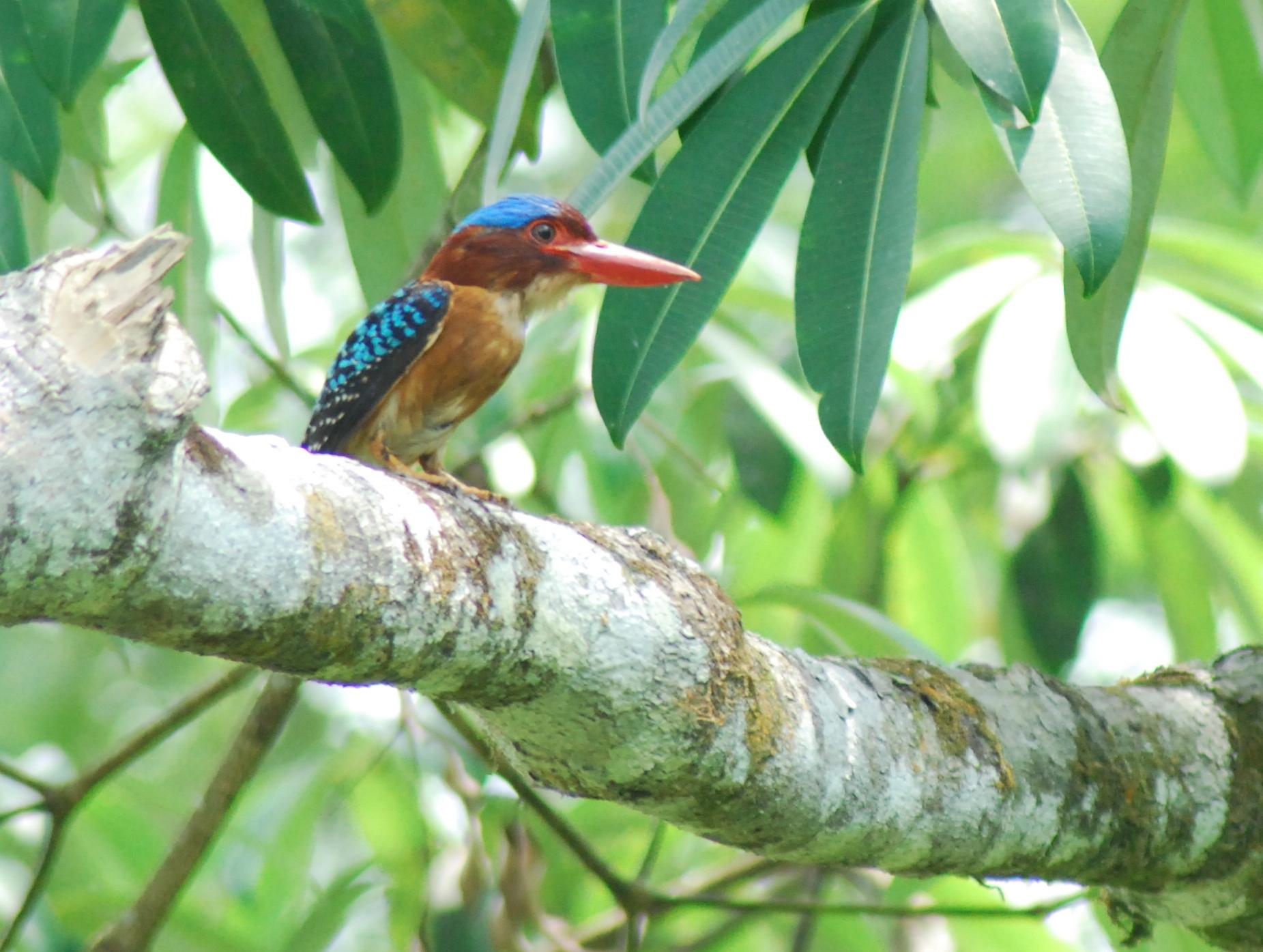 A rainforest kingfisher in hunting mode  (photo (c) Suprayudi)
