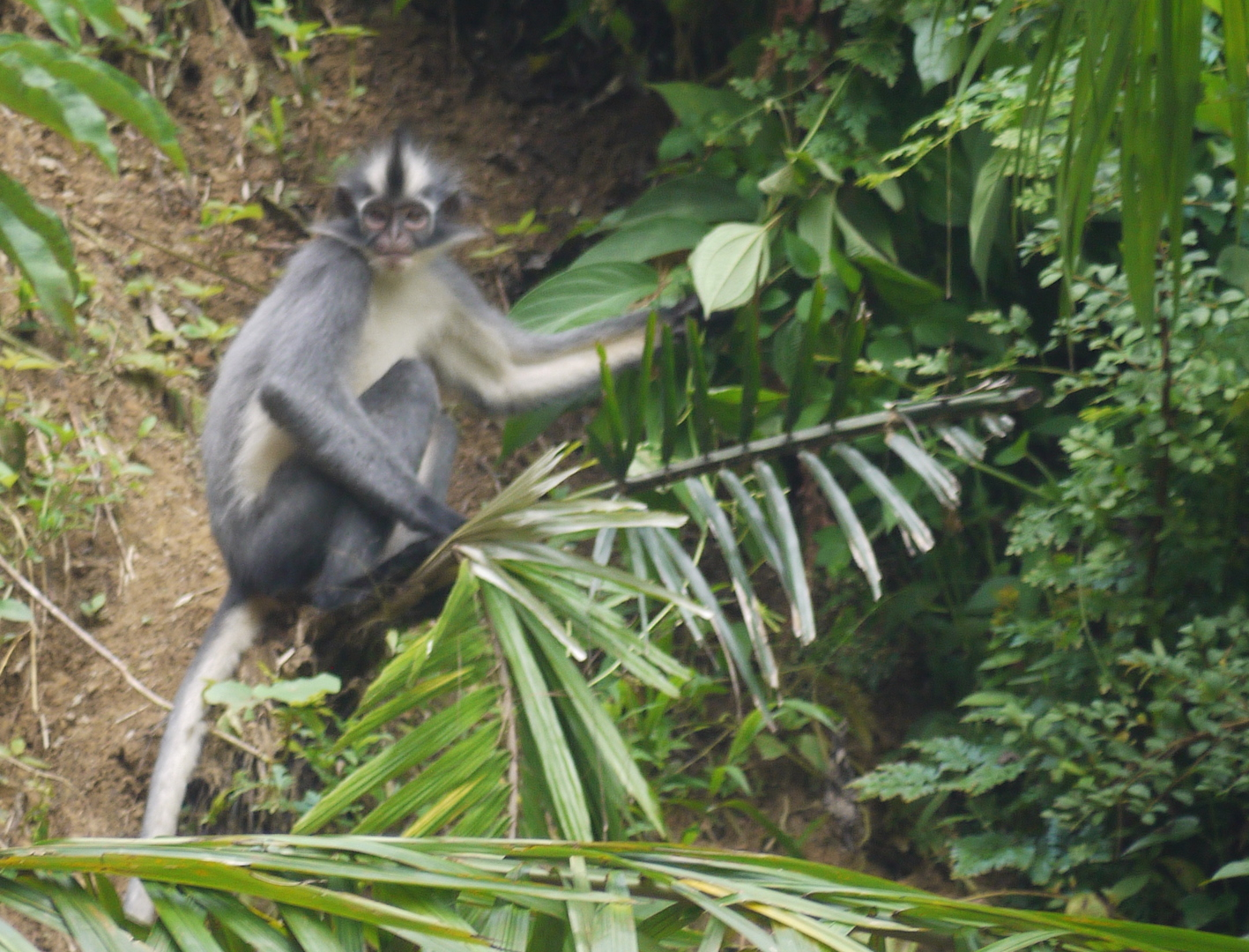 Thomas' Langur, a species of leaf monkey, feeding on foliage  (photo by William Laurance)