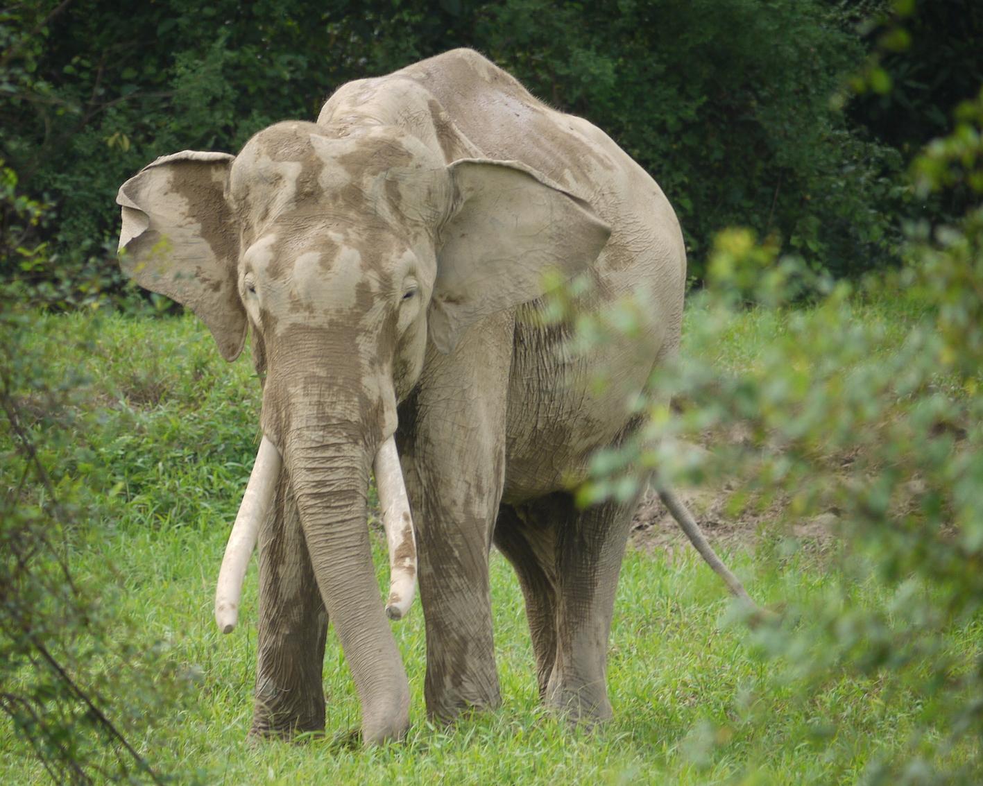 A Sumatran Elephant feeding on grass verging the rainforest  (photo by William Laurance)