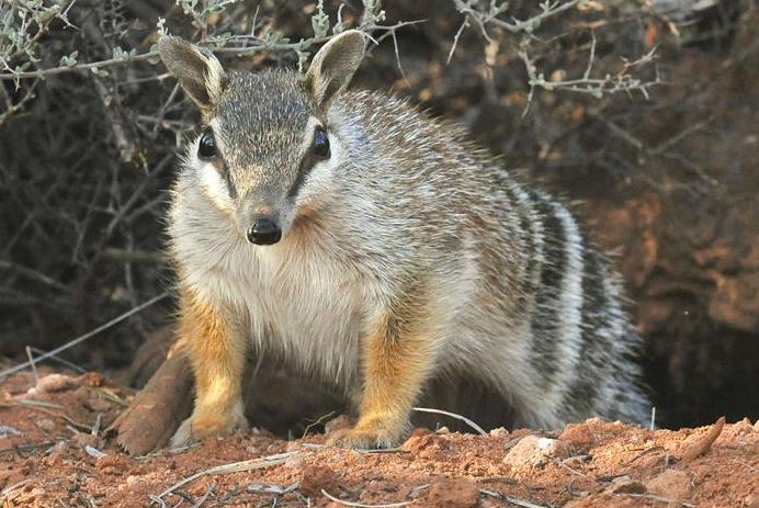 Endangered Numbat: Environmental crisis Down Under