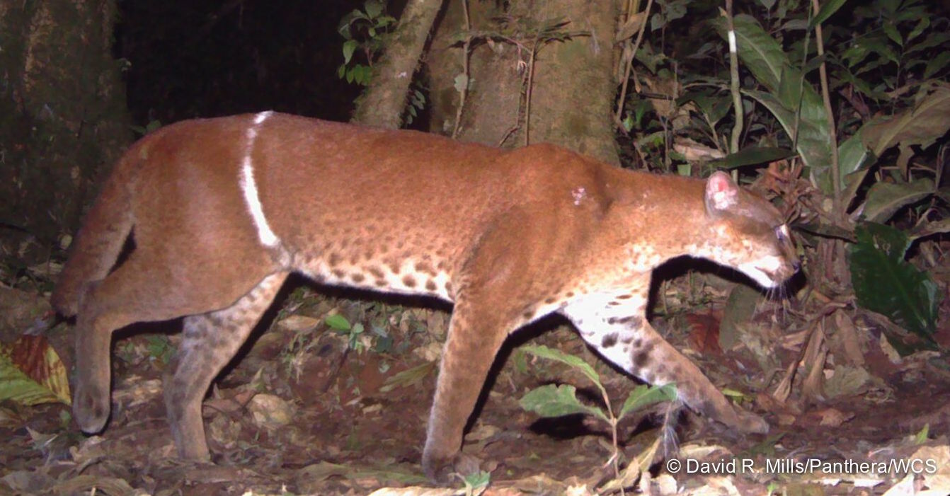 An African Golden Cat maimed by a poacher's snare  (photo (c) David R. Mills/Panthera/WCS)