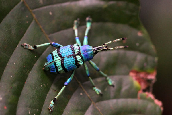 Colorful weevil beetle from Papua  (photo (c) Rhett Butler/Mongabay)