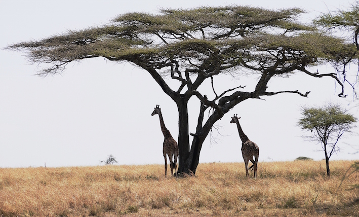 Giraffes in Tanzania -- fewer people are experiencing nature at first hand  (photo by Bill Laurance)
