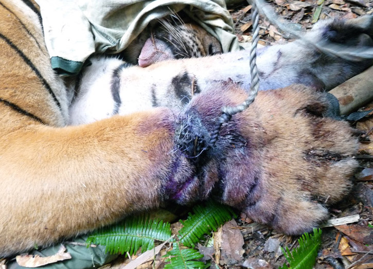 A snared tiger--that later died  (Image (c) WWF)