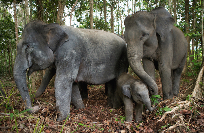 Not many places left to hide for Sumatra's elephants  (image (c) Gudkov Andrey)