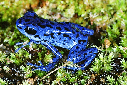 Frog-dendrobatid-reversed.jpg