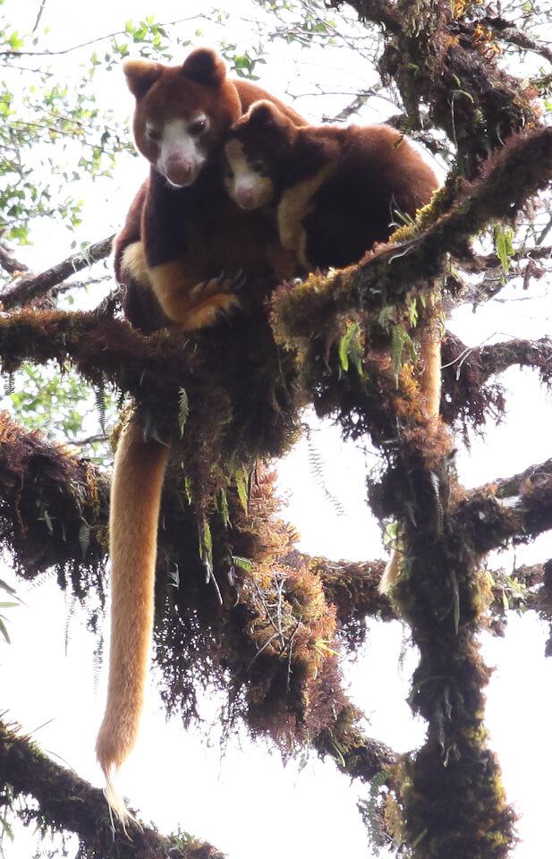 Tree-kangaroos.jpg