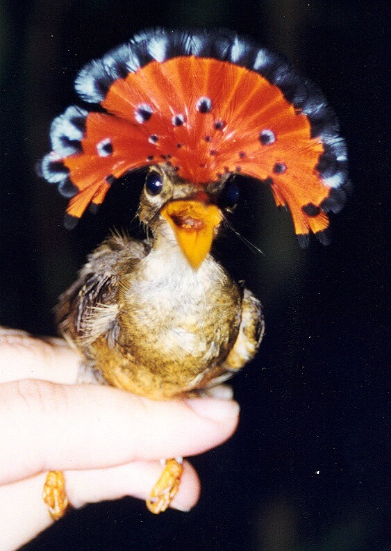 Bird-Onycor2.jpg