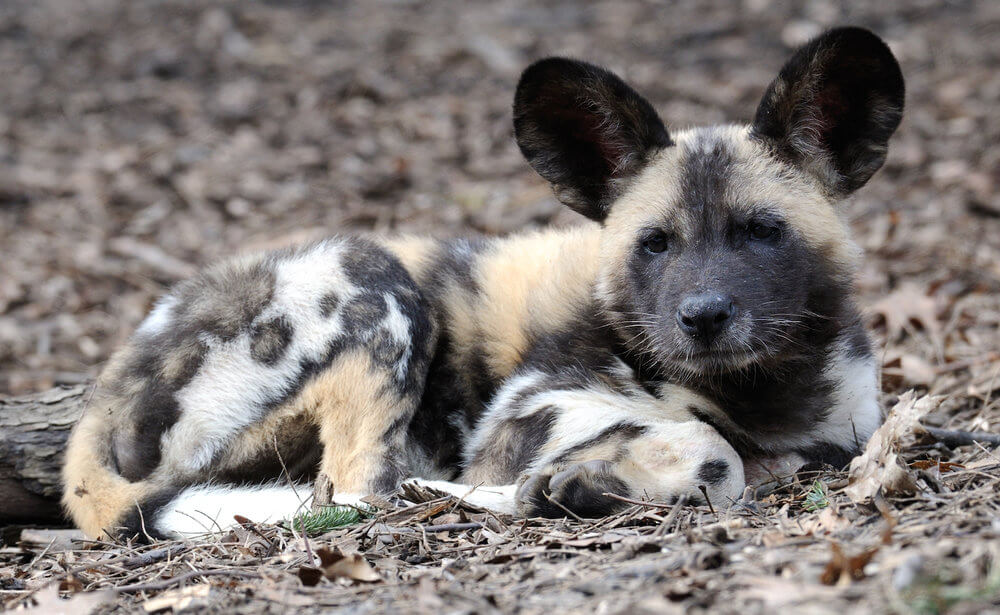In hot weather the pups are most vulnerable  (photo (c) Nagel Photography).