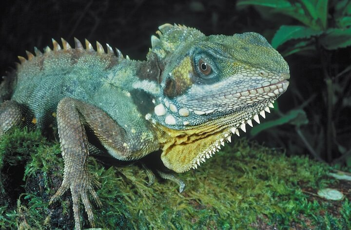 A Boyd's Forest Dragon -- hoping for cooler weather  (photo (c) Martin Cohen)