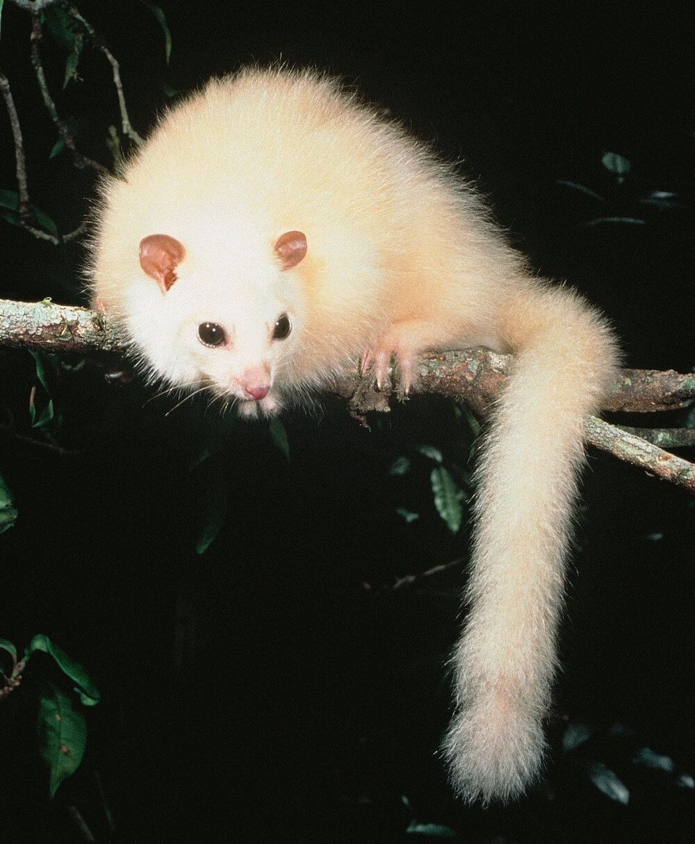 Beautiful rainforest possum, staring at the abyss of extinction  (photo (c) Mike Trenerry).