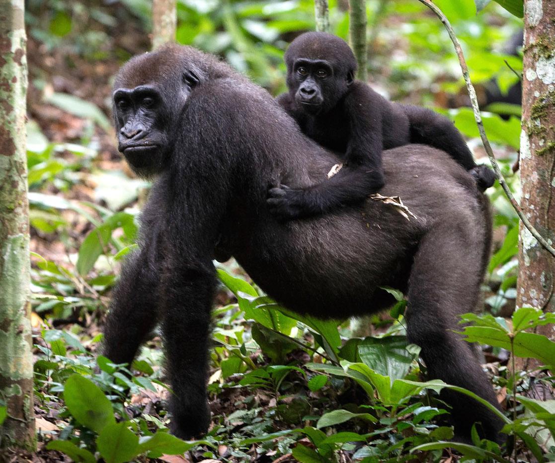congo-odzala-discovery-camps-generic-wildlife-gorillas.jpg