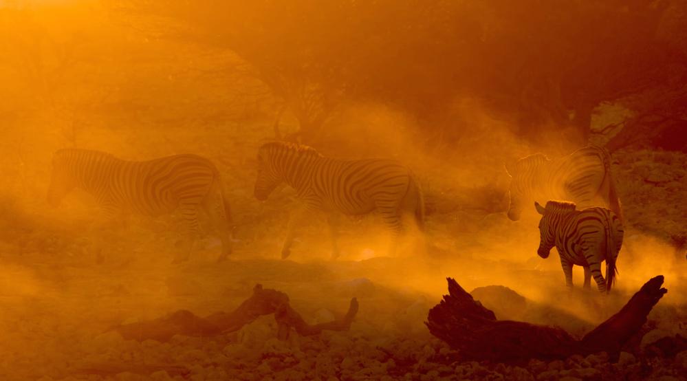 Fire-Zebras.jpg