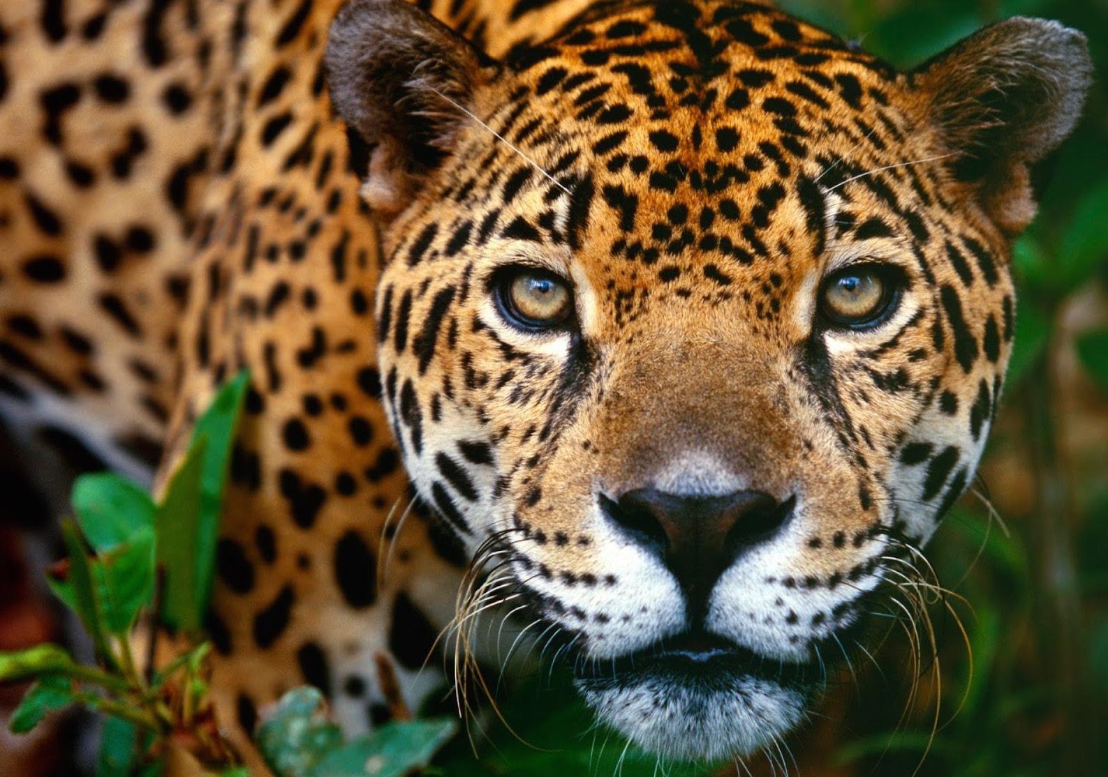 Jaguar2.jpg