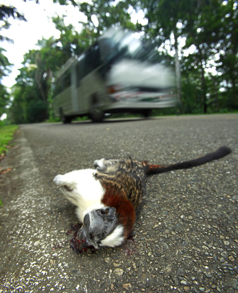 Roadkill-titi-monkey5.jpg