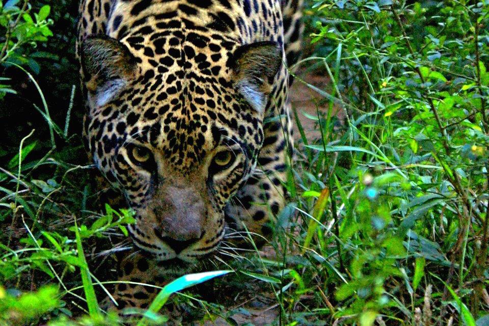 Jaguar-Paul Rosolie.jpg