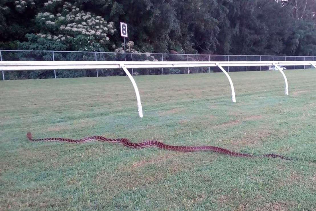 python-cairns.jpg