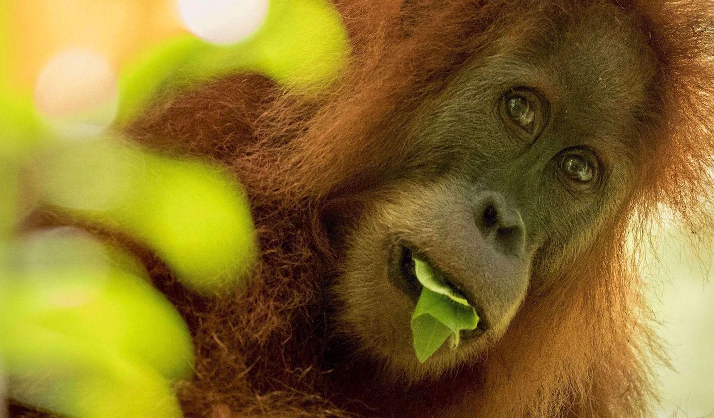 Orangutan-Tapanuli-Maxime Aliaga-COVER.jpg
