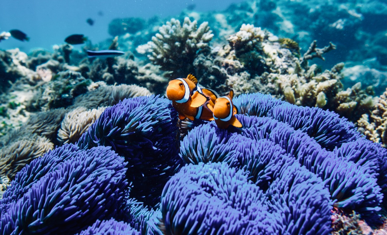 blue-carpet-anemone-clownfish-credit-frankland-island-cruises1.jpg