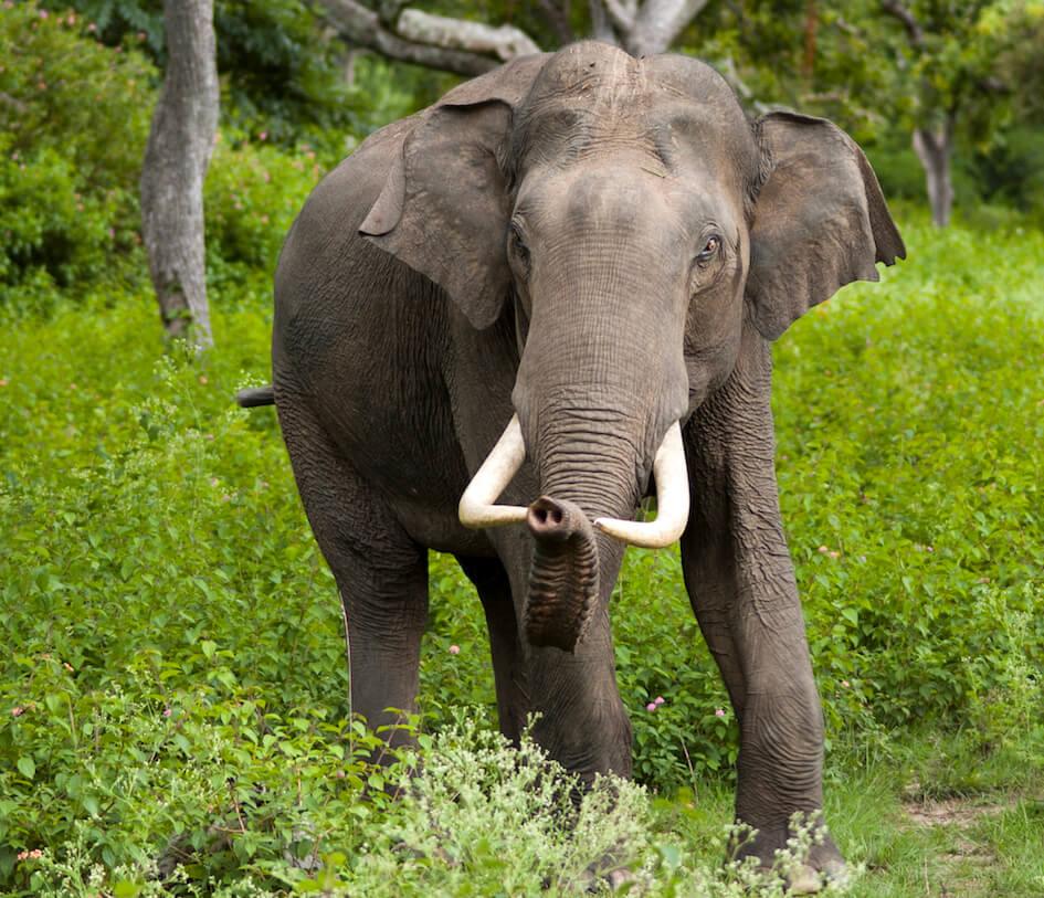Elephant-Asian.jpg