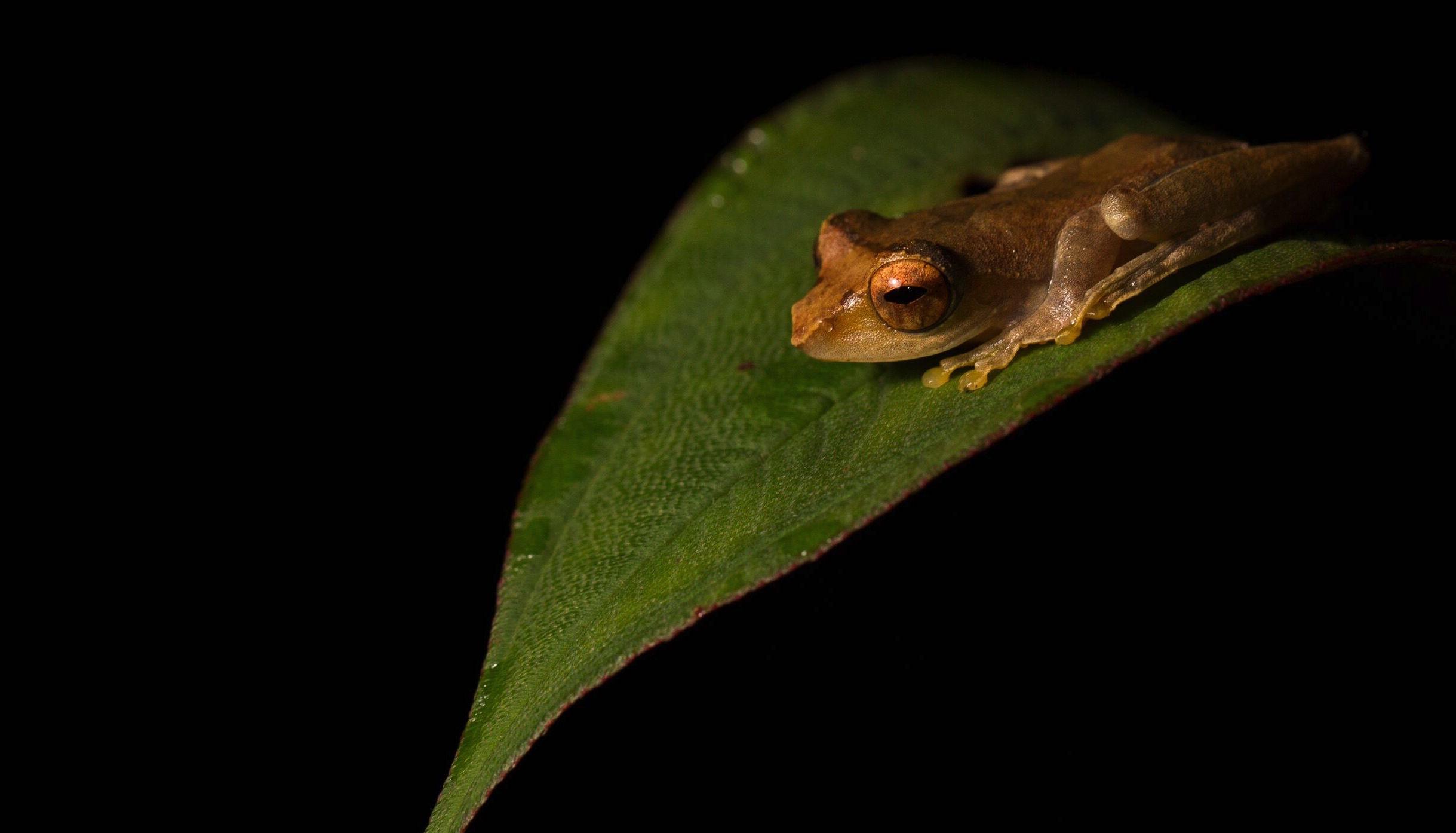 Frog-Batang Toru-Maxime Aliaga.jpeg