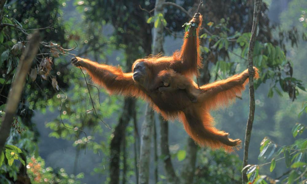 Orangutan-Sumatra-WWF.jpg