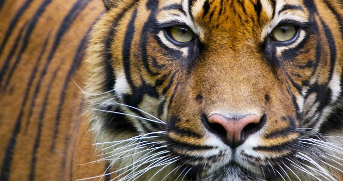 Sumatran_tiger.jpg