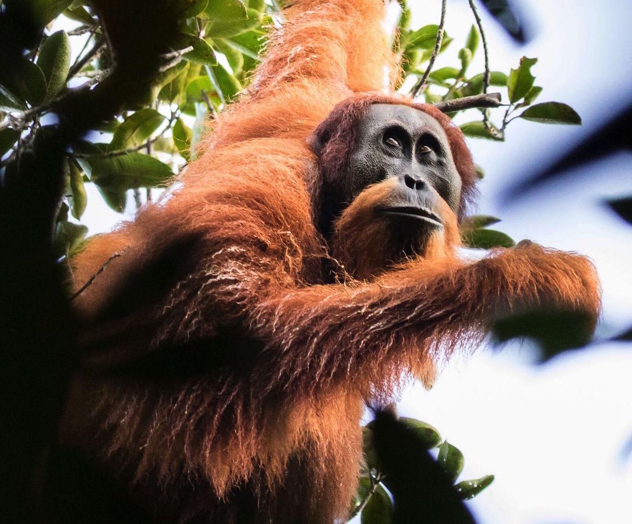 Orangutan-Tapanuli-Maxime Aliaga3.jpg