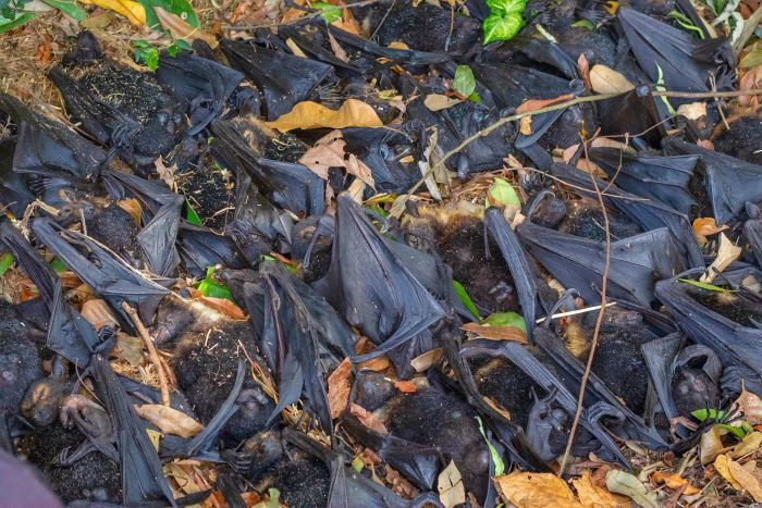 Dead and dying flying foxes litter the ground during a heat wave this week in northern Queensland