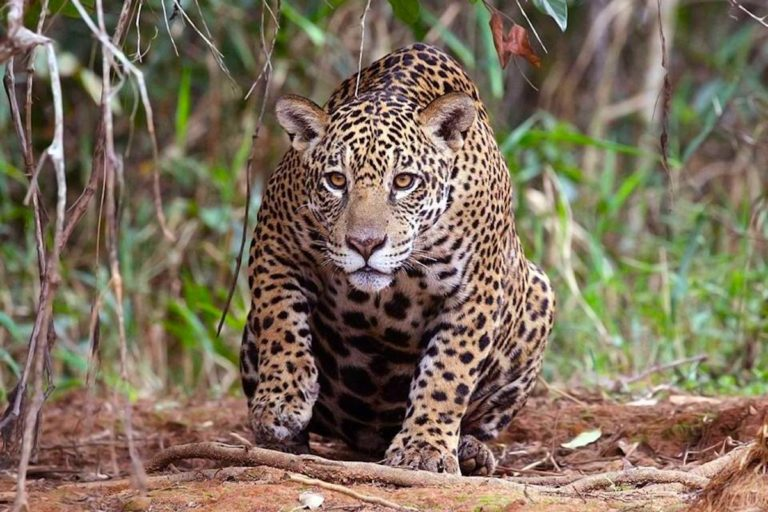 8. jaguar.jpeg