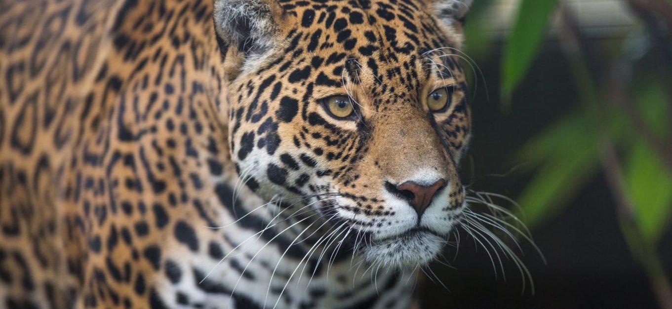 Jaguar_AdobeStock_72826483-1500x630.jpg