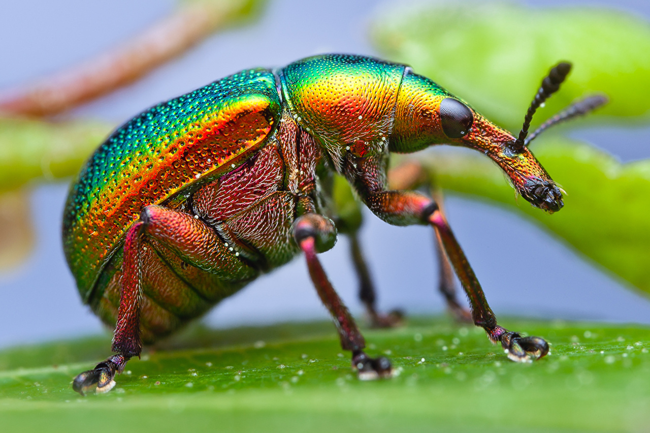 Metallic Leaf Roller Weevil-379424-Sepik-John Hallmen:Flickr.jpeg