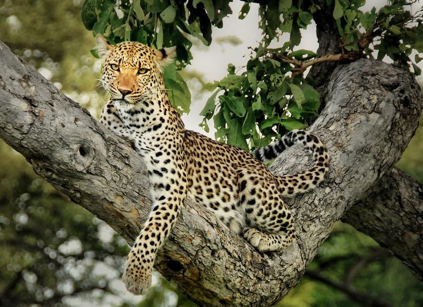 Leapord+tree.JPG