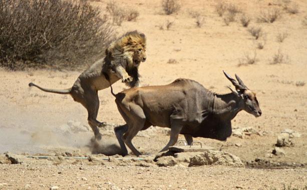 lion-eland.jpeg