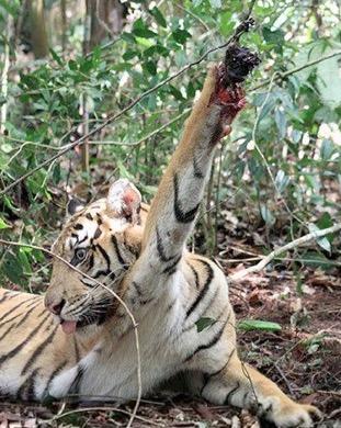 tiger-snare.jpg