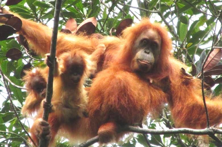 orangutan+3.jpg