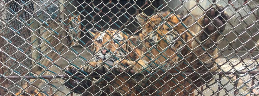 tigres em cativeiro