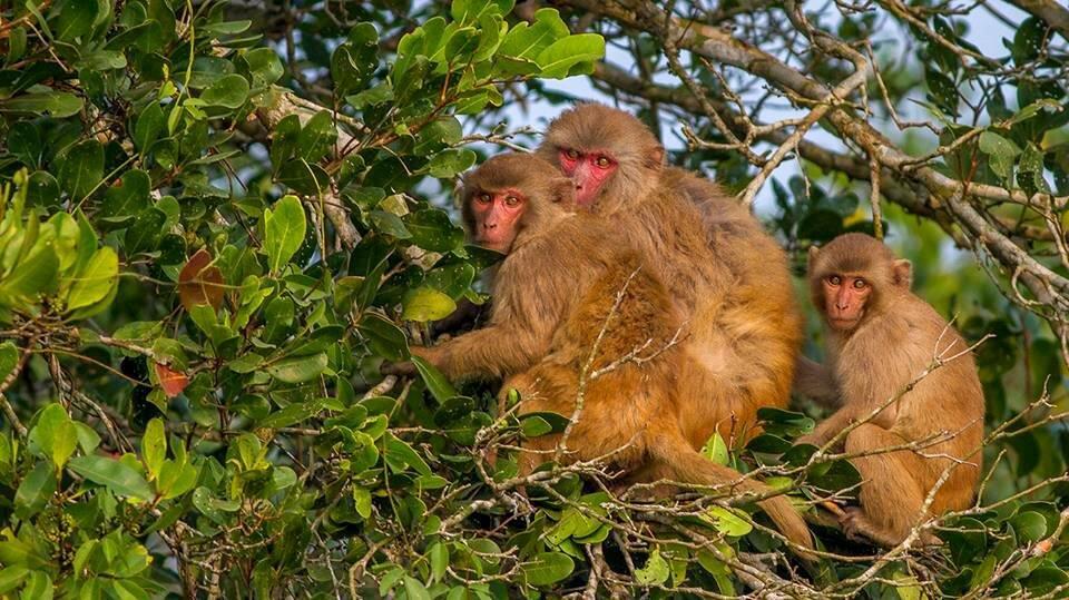 Rhesus Monkeys.jpg