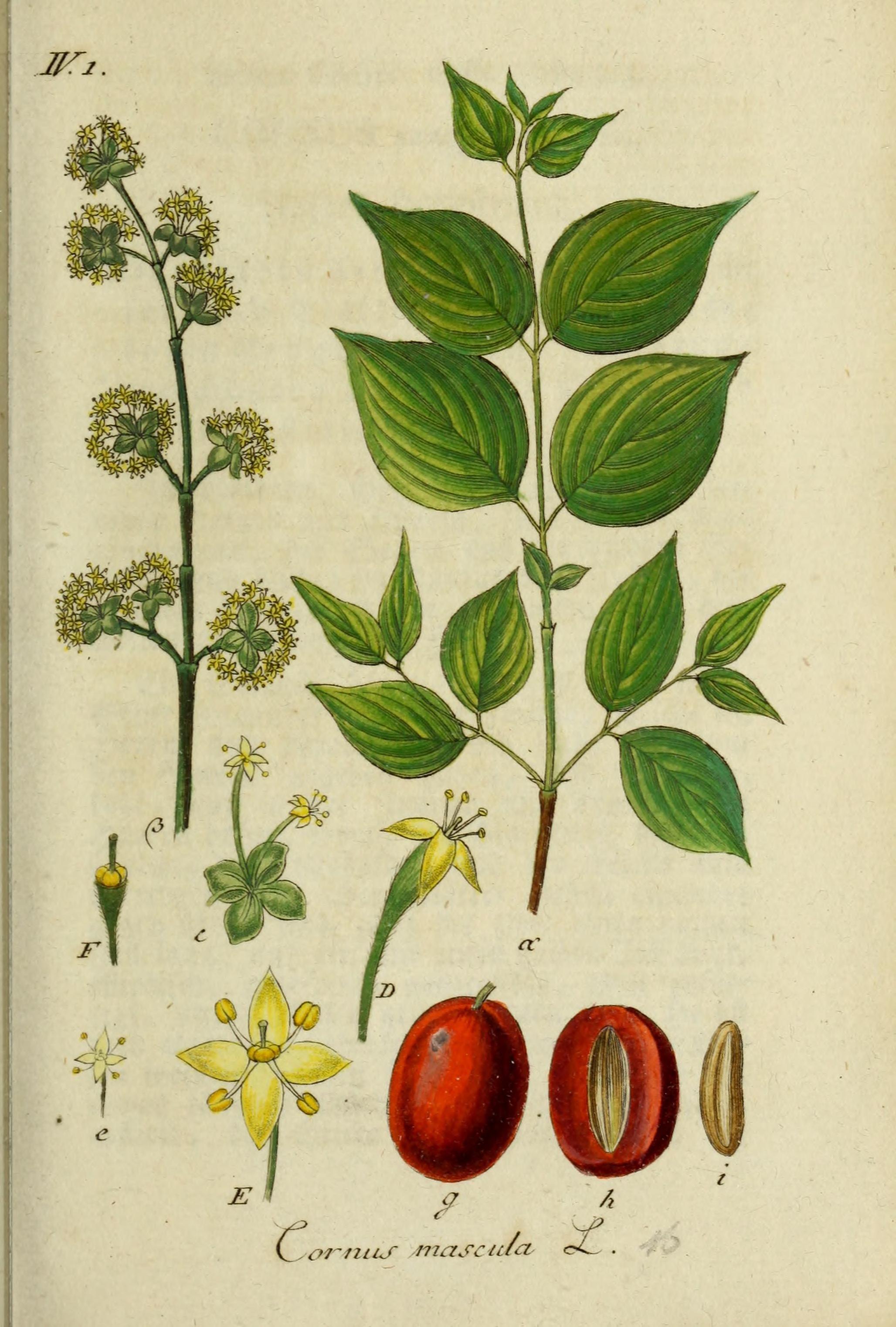 Cornus mas , Biodiversity Heritage Library, via  Flickr