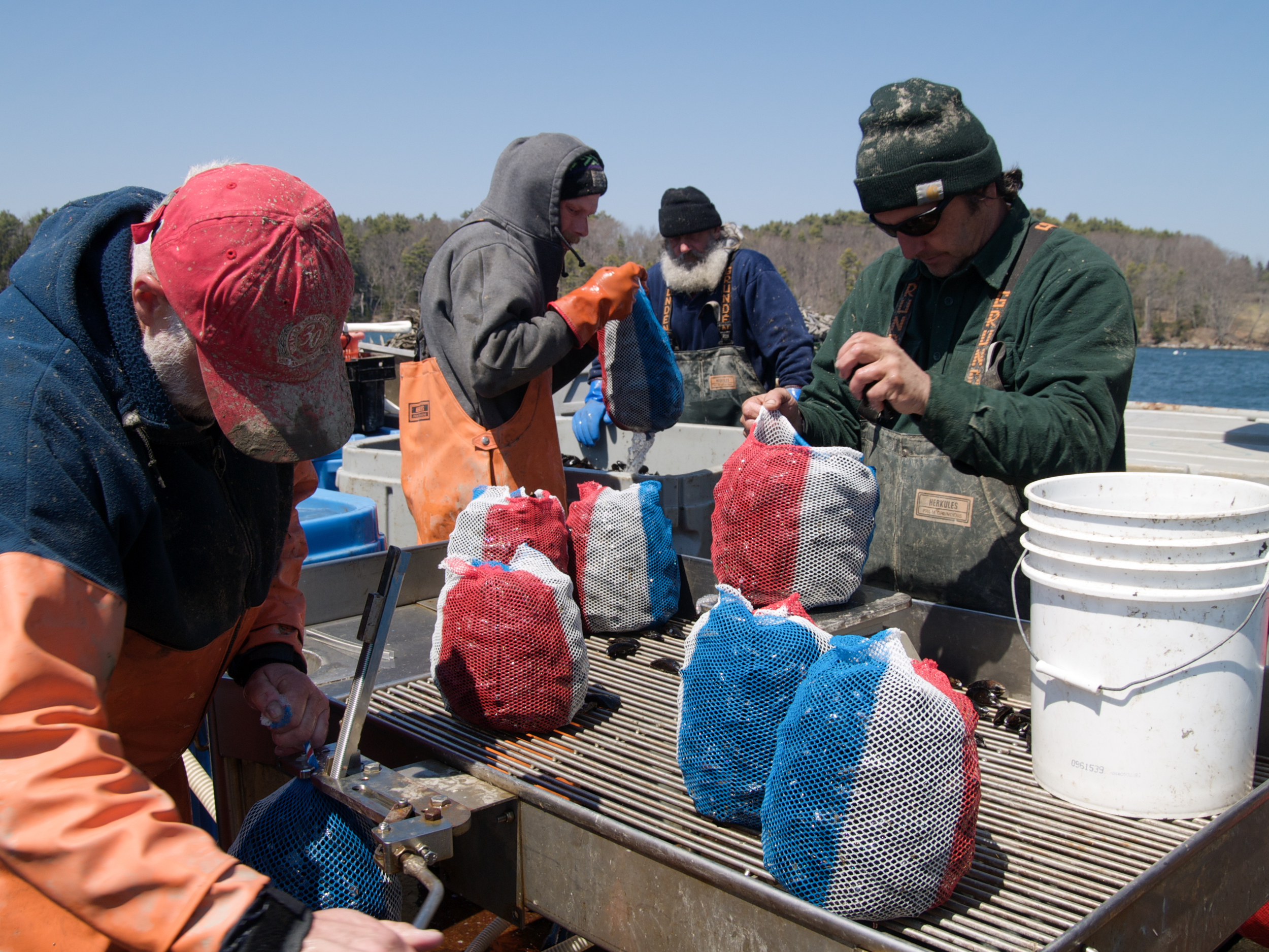 (04/25/09) Peter Fischer, Greg Thompson, Joe Larrabee and Carter Newell (from left to right) weigh mussels by hand in 10 lb bags before packing them into plastic totes and cover- ing them with ice. Red white and blue bags show that the mussels are American and not Canadian.
