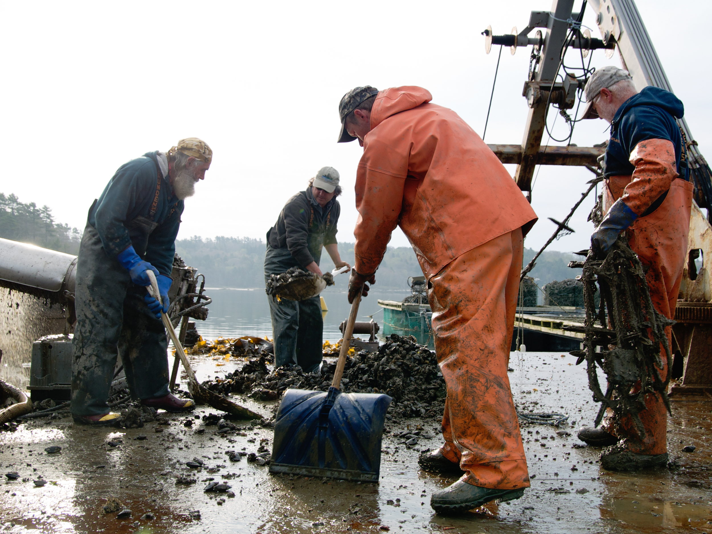 (05/09/09) Once the mussels are deposited onto the deck of the barge they have to be shaken off the ropes by hand. Mud flies in the air and Peter Fischer (left) and Greg Thompson (right) end up covered from head to toe by the end of it.